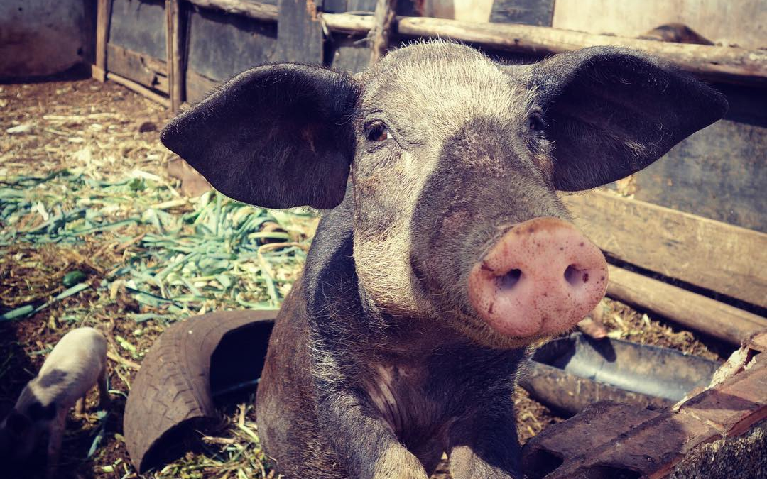 Sustainability in Hawaii: The Benefits of Farm Animals