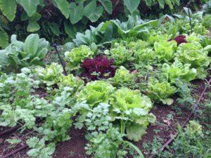 Big Island Organic Farm