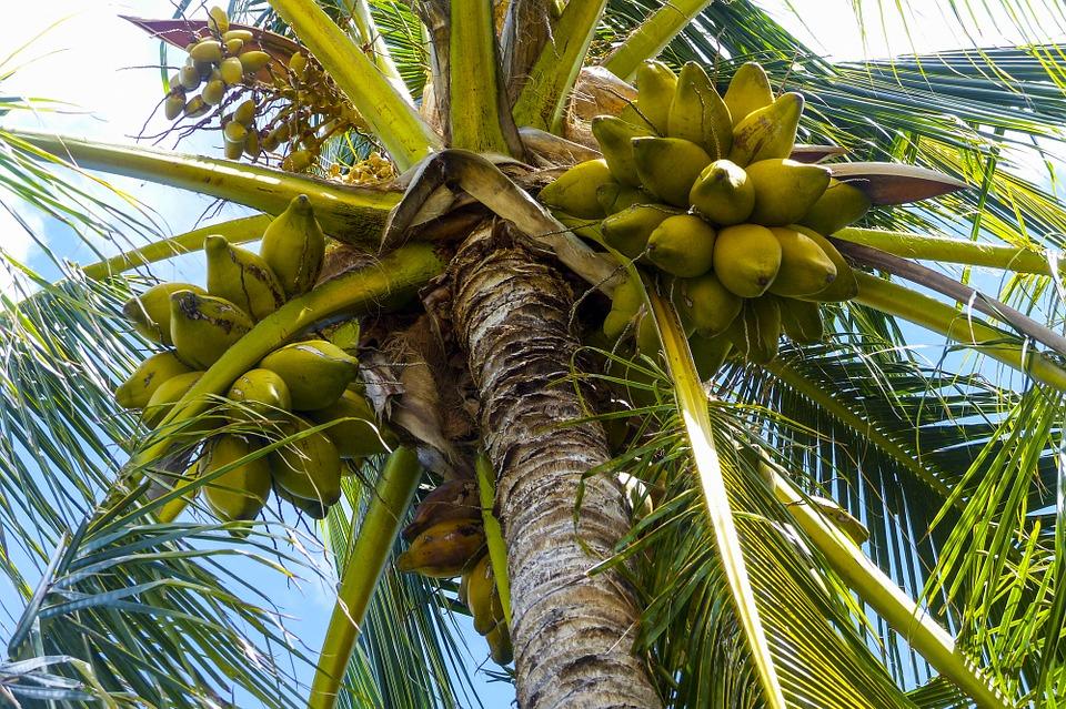 benefits of coconut tree